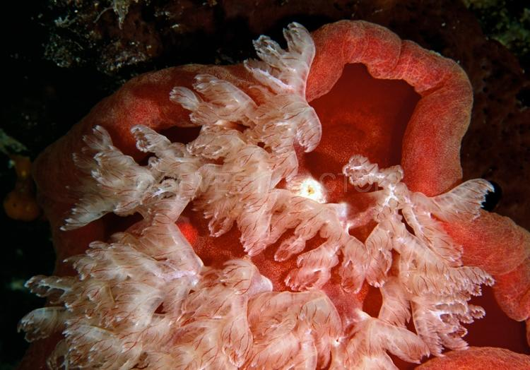 DIVING;UNDERWATER;Seaduction;ocean;sea;Abstract;Red;Pink;Black;White;102. Spanish Dancer – Wakatobi;Indonesia