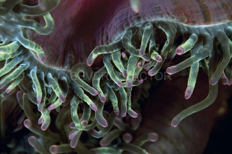 Abstract;Seaduction;Underwater;ocean;sea;Pink;Green;106. Curly Tips – Malaysia