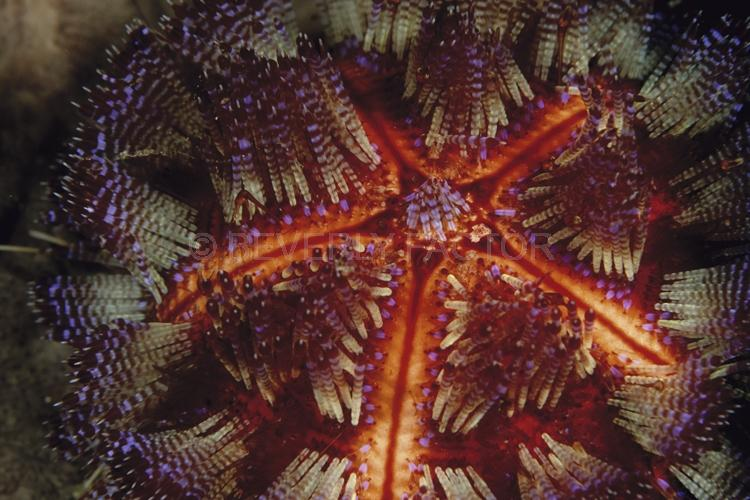 DIVING;UNDERWATER;Seaduction;ocean;sea;Abstract;Purple;Red;Beige;135. Star Power – Indonesia