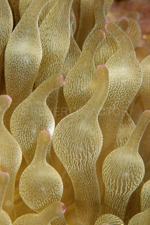 DIVING;UNDERWATER;Seaduction;ocean;sea;Abstract;Beige;Brown;Pink;A50.;Elegant Splendor;- Komodo;Indonesia